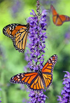 monarchs-and-more